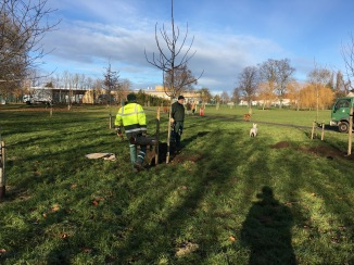 Planting nut trees Tiverton Green (West side)
